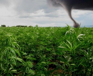 hemp cannabis crop insurance